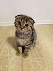 Wunderschöne Scottish Fold BKH Kitten