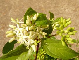 Ahorn Hartriegel Baum Busch Pflanzen: Kleinanzeigen aus Sinsheim - Rubrik Pflanzen