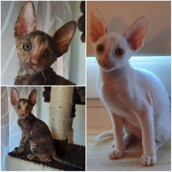 Cornish Rex Kitten noch zwei