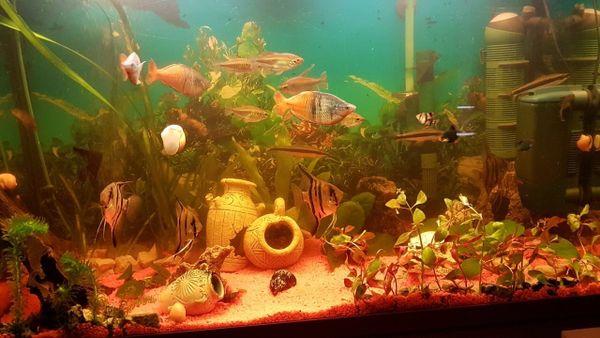 200L Aquarium mit Fischen - Zirndorf - Unterschiedliche Fischarten, männlich & weiblich, Aquarium, Aquariumpflanzen, Aquariumschrank, Aquariumzubehör, Außenfilter, Sonstige Aquaristik. Verkaufen unser 200Liter Becken 1 1/2 Jahre altGesamt mit schrank: 64cm hoch 100cm breit 42cm t - Zirndorf