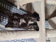 Mischlings Kätzchen