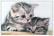 Süße Whiskaskätzchen Britisch Kurzhaar Babys