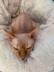 Sphinx Kater 2 Jahre kastriert