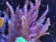 Gorgonie Meerwasser Korallen