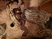 königspython pieball het albino