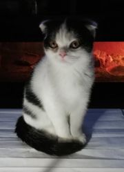 Scottish Fold Exotic Shorthair Mix