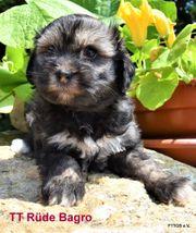 1 Tibet Terrier