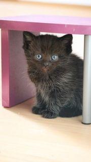Perser-Mix Kitten