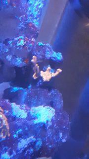 verkaufe korallen Ableger