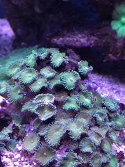 palythoa grün
