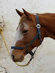 Suche Reitbeteiligung für brave Quarterhorsestute
