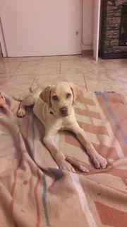 Labradorwelpe 4 Monate..
