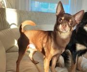 Erfahrener Chihuahua deckrüde Schoko tan