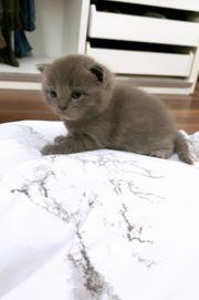 bkh kitten bis 14 4
