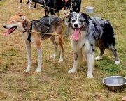 Wurfankündigung Australian Shepherd Mix Welpen