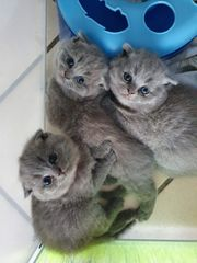 3 Süße reinrassige BKH Blue