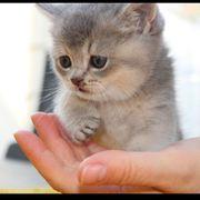 Britischekurzhaar Kitten