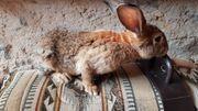 Kaninchen Riesenkaninchen deutscher Riese