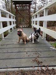 Französische Bulldoggen suchen ein liebevolles