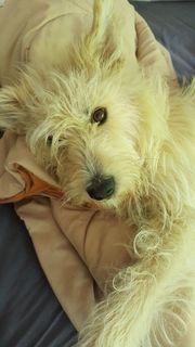 Hübsche verschmuste Hündin Terriermix 3