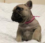 12 Wochen alt Französische Bulldoggen
