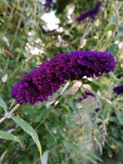Verschiedene Auswahl Ableger Steckling Schmetterlingsflieder