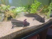 6 geschlechtsreife Axolotl Gold-Albino Nator