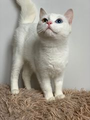 Angora Mix mit zweifarbigen Augen