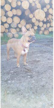 Französische Bulldogge Red Fawn