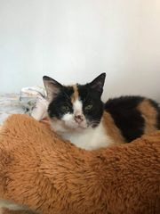 Katzendame Tia ca 13 Jahre