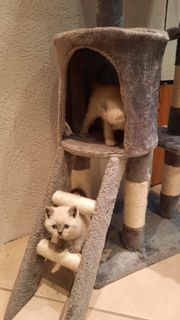 Brittische Kurzhaar Katze