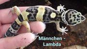 Reserviert - Leopardgeckos