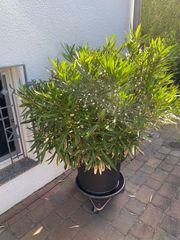 Oleander pink blühend 150x120cm