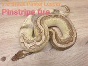 Black Pastel Lesser Pinstripe Fire