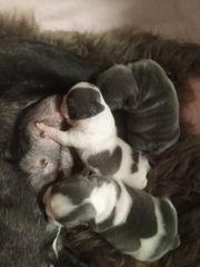 Drei Französische Bulldoggen Welpen
