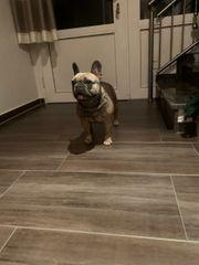 Französische Bulldogge in Sable Blue