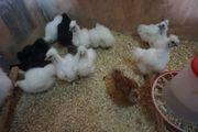 Zwergseidenhuhnküken Zwergseidenhühner Seidenhühner