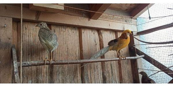 Gelbe Goldfasane, Fasan, Ziergeflügel, Geflügel