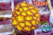 Leptastrea Burning Ember Meerwasser korallen