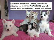 Full Blood Husky Welpen zu