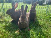 Verkaufe junge Hasen Kaninchen