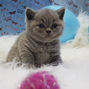 Wunderbare BRITISH SHORTHAR