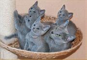 reinrassiges russisches blaues Kätzchen