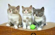 Reinrassige BKH-Kätzchen 4 Monate jung