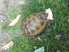 Weibliche Stepplandschildkröte zu verkaufen: Kleinanzeigen aus Kirchdorf - Rubrik Reptilien, Terraristik