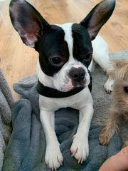 Französiche Bulldogge zu Verkaufen