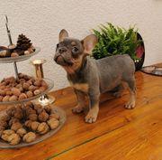Französische Bulldoggen mit Nase