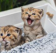 Wunderschöne BKH Kitten abzugeben