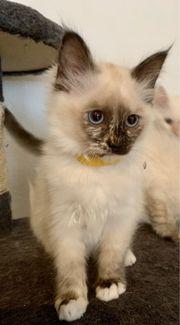 Heilige Birma Ragdoll Kitten