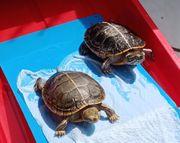DRINGEND neuer Besitzer für Wasserschildkröte